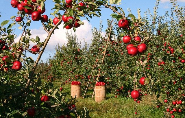 New Zealand's apple export season starts