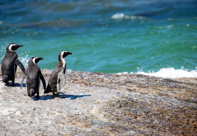On this sunken continent lived the ancestor of all penguins
